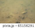 小川のメダカ 65156291