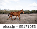The horse gallops in gait, a portrait in the daylight and rages in the pasture. 65171053