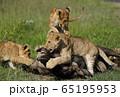 ライオンの子ども 65195953