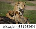 ライオンの子ども 65195954