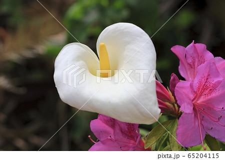 真っ白なカラー(海芋)とツツジの花 65204115