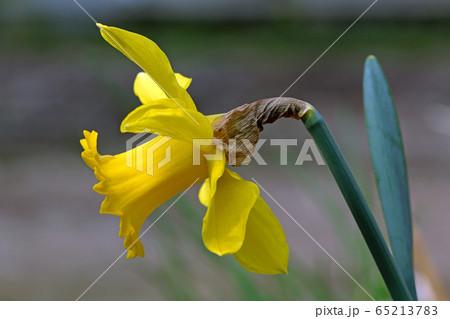 ラッパスイセンの花開く 福島県只見町 65213783