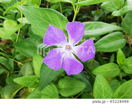 ツルニチニチソウ(蔓日々草)の花 65228499