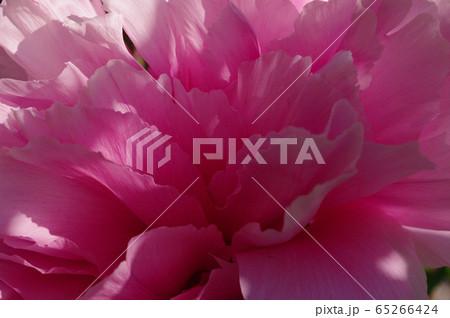 【春のイメージ】ピンク色のシャクヤク接写 65266424