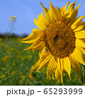 Sunflower, Helianthus annuus 65293999