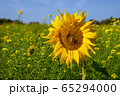 Sunflower, Helianthus annuus 65294000
