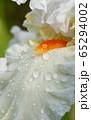German iris, Iris barbata 65294002