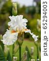 German iris, Iris barbata 65294003