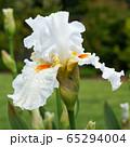 German iris, Iris barbata 65294004