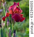 German iris, Iris barbata 65294005