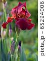 German iris, Iris barbata 65294006