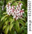 Japanese andromeda, Pieris japonica 65294007