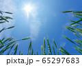 青空を背景にした小麦畑 65297683