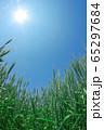 青空を背景にした小麦畑 65297684