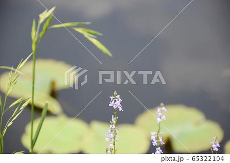 水辺にひっそりと咲くマツバウンラン 65322104