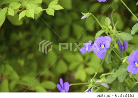 薄紫のビオラ 65323162