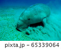 Close view on cute and amazing dugong.Underwater shot. Looking on quite rare ocean animal who eating seagrass underwater. The huge sea cow. Dugon. Underwater fauna and flora. Active life. Wildlife. 65339064