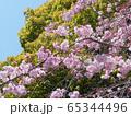 枝垂桜 65344496