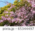 枝垂桜 65344497
