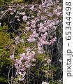 枝垂桜 65344498