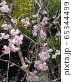 枝垂桜 65344499