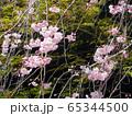 枝垂桜 65344500