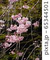 枝垂桜 65344501