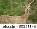 初夏の知床で出会ったエゾシカ(北海道) 65345340