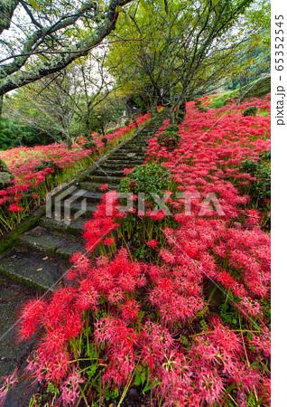 石段を覆い隠すように咲いている彼岸花の仏隆 65352545