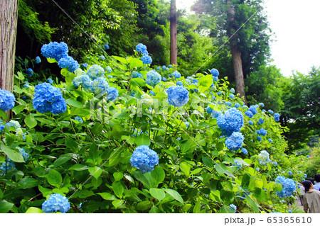 【神奈川】北鎌倉 見事な明月院ブルー 65365610