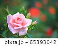 ピンク色のバラ 65393042