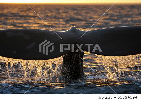 ミナミセミクジラ 65394594