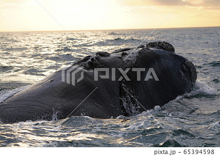 ミナミセミクジラ 65394598