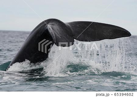 ミナミセミクジラ 65394602