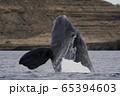 ミナミセミクジラ 65394603