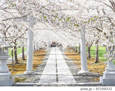 北海道の桜風景 白い鳥居と桜のトンネル 65398332
