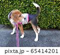 ビーグル 子犬 パピー 犬 お散歩 犬の散歩 65414201