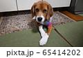 ビーグル 室内犬 中型犬 子犬 パピー 犬 上目遣い 65414202