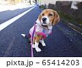 ビーグル 子犬 パピー 犬 お散歩 犬の散歩 65414203