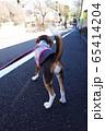 ビーグル 子犬 パピー 犬 お散歩 犬の散歩 65414204