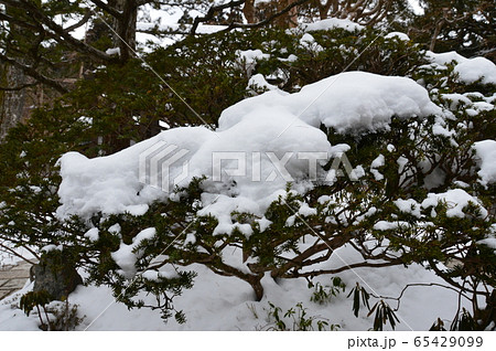 雪をかぶった松の木(高野山/和歌山県伊都郡高野町高野山) 65429099