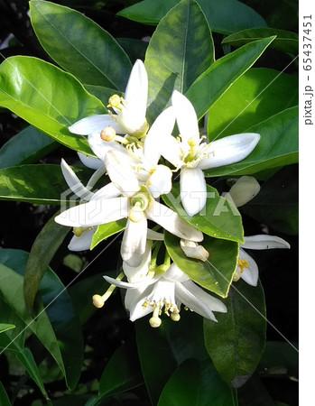 みかんの花 65437451