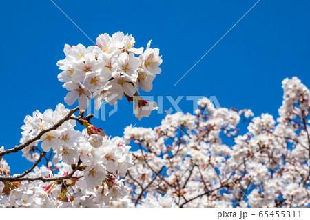 青空の下で満開の桜 ソメイヨシノ 65455311