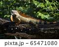 グリーンイグアナ 65471080