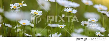 バナーサイズに切り抜いフランス菊の花畑 65483268