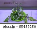 新鮮 葉 料理 65489250