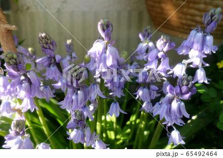 球根の庭の花:ツリガネズイセン (釣鐘水仙) 65492464
