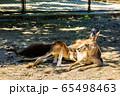 オオカンガルー 【動物】 65498463