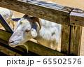 ヤギ 【動物】 65502576