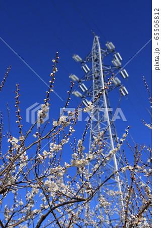 梅の花と青空と鉄塔 撮影場所:曽我地区(神奈川県小田原市) 65506812
